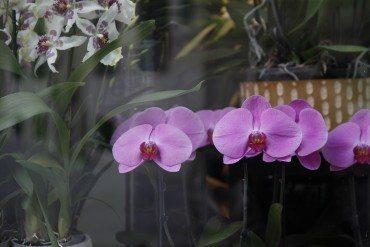 Sylvain Georges, le coin des orchidées